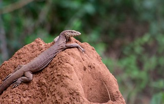 A Young Monitor Lizard