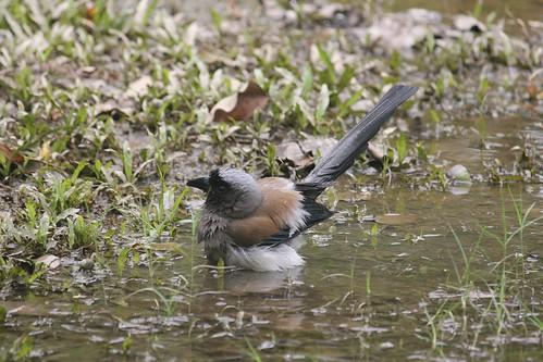 小鳥浴場:樹鵲