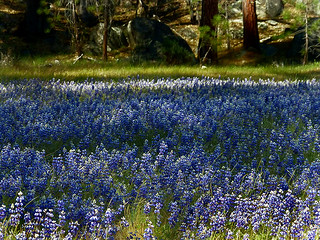 Sky Lupine at Wawona