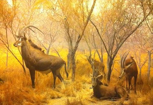 drollgirl natural history museum diorama IMG_7046