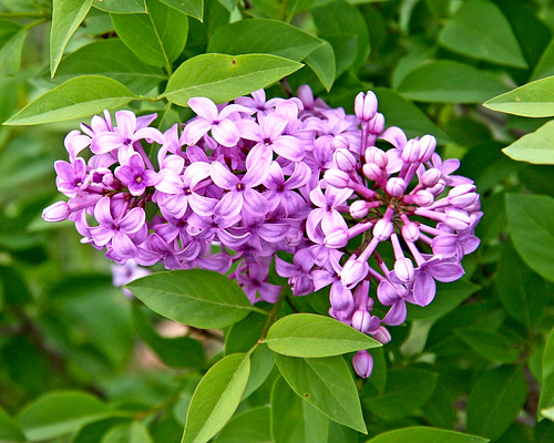 We have lilacs!