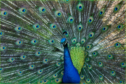 Peacock by Gary P Kurns Photography