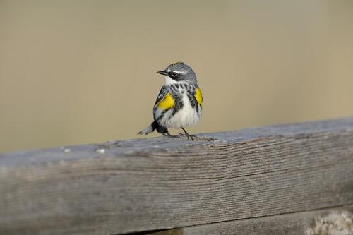 Yellow-rumped Warbler-41067.jpg