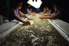 Hand sorting for Defects at the dry mill inside Exclusive Coffee.