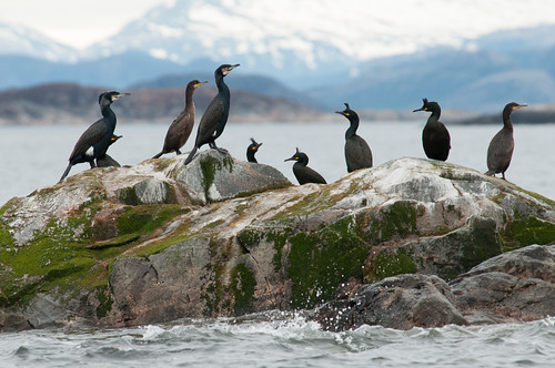 Cormorants and shags #1