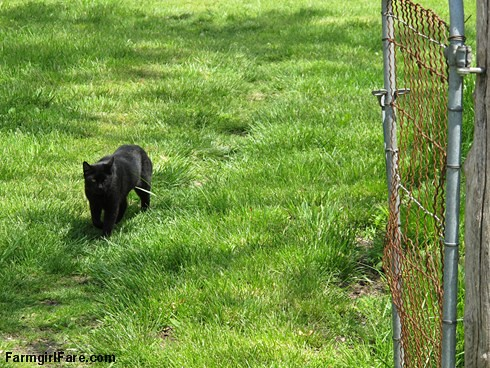 (26-5) Mighty hunter Mr. Midnight stalking through the short grass - FarmgirlFare.com