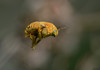 253/978 - Valley Carpenter Bee (Xylocopa varipuncta), Quail Trail by Jerry Ting