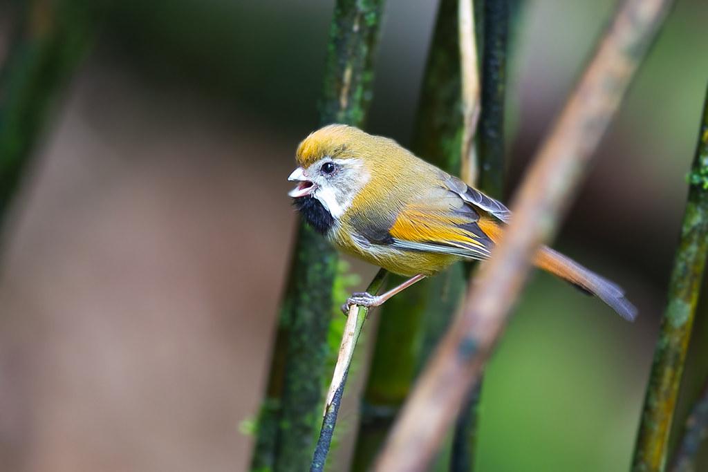黃羽鸚嘴-4227