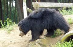 animal, american black bear, zoo, mammal, bear, wildlife,