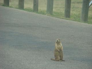 27 Prairie dog op weg
