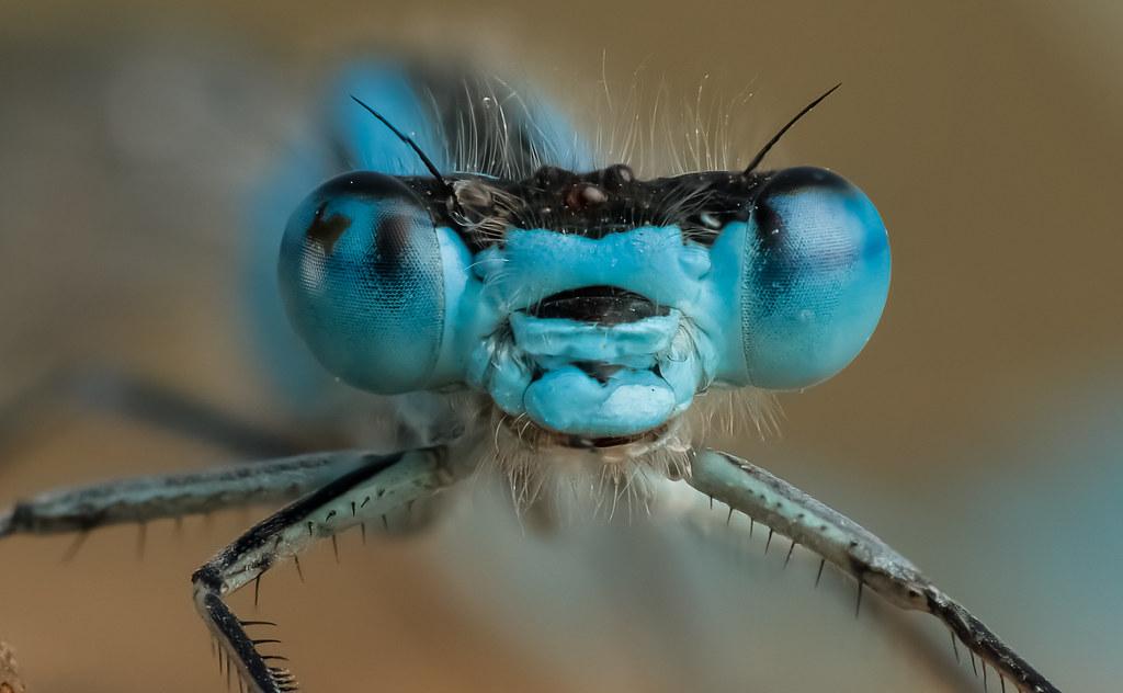 Eye of Damsel Fly