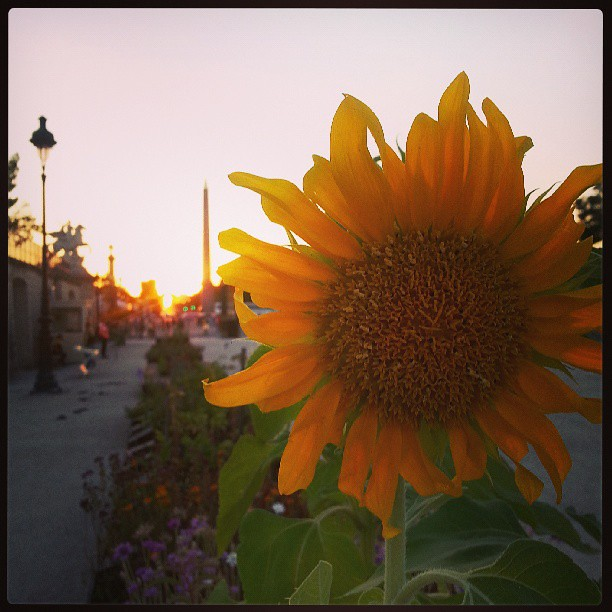 Sunset sunflower #Paris #Tuilleries
