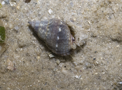 Speckled whelk (Nassarius limnaeiformis)