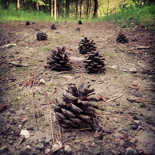 Morning jog science: what would make all the tiny pinecones stand upright?
