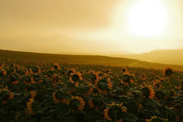 朝霧の中の向日葵1