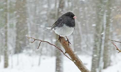 Dark-eyed Junco during a snow | by Bob Vuxinic
