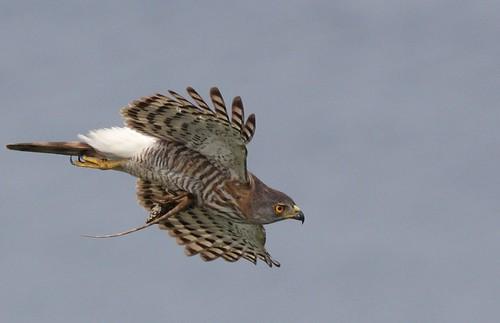腳上抓著攀木蜥蜴的鳳頭蒼鷹(圖片攝影:曾建偉)