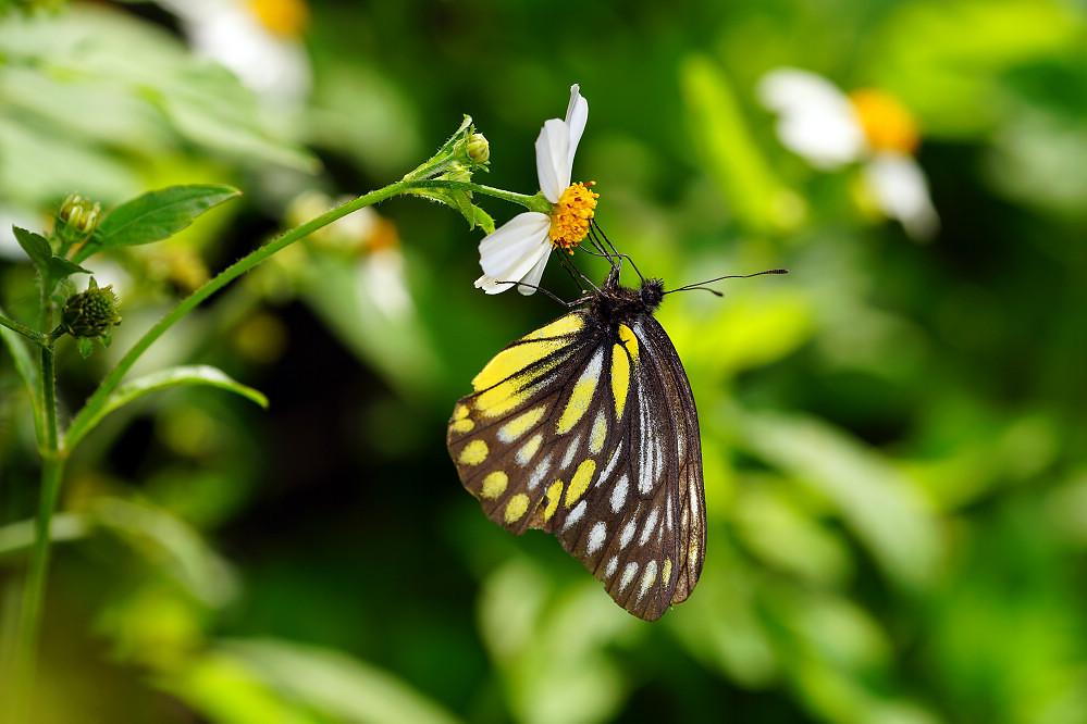 豔粉蝶屬條斑豔粉蝶-2