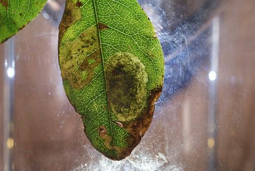 Leucoptera laburnella