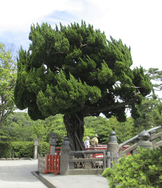 kamakura tree