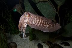 animal(1.0), molluscs(1.0), cephalopod(1.0), marine biology(1.0), fauna(1.0), cuttlefish(1.0), wildlife(1.0),