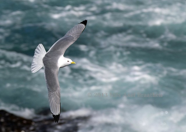 J77A4531 -- A Gull in flight at Hafnaberg, on Iceland