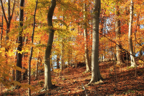 autumn trees nature forest pennsylvania foliage creativecommons deciduous buckscounty slope fagusgrandifolia leaflitter understory temperatedeciduousforest americanbeeches williampennstateforest davidrjohnsonnaturalarea