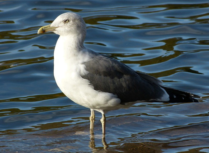 P1060255 - Lesser Black-backed Gull, Cosmeston