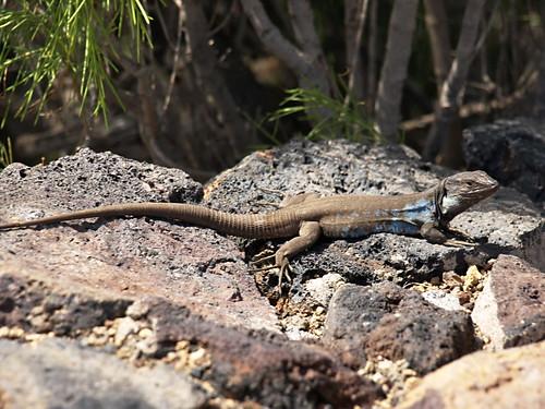 Lizard, lagarto