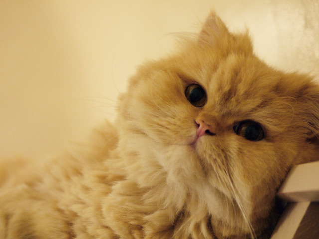A sweet Persian cat face