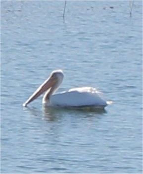 American White Pelicans on Parmer Village Pond - 2