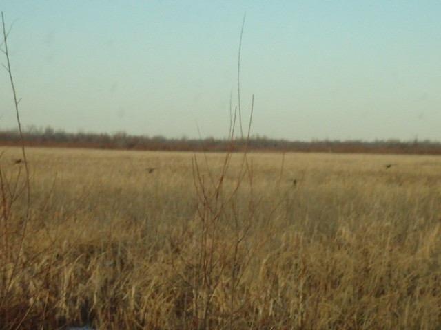 wma williston pheasants