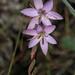 Hesperantha sp LT-2.jpg