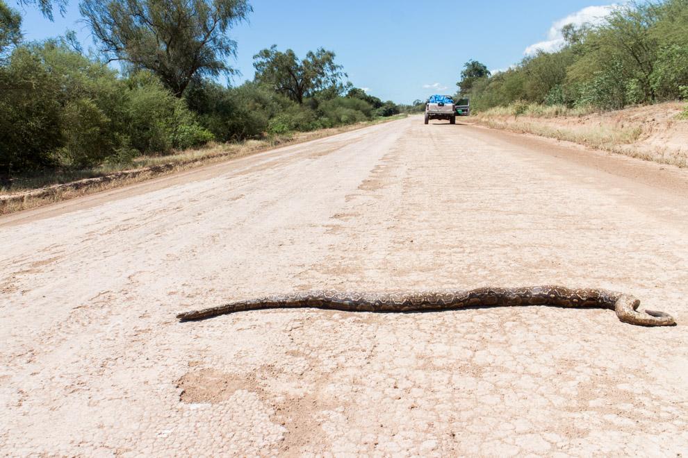 Los buenos caminos también tienen sus efectos negativos para la fauna nativa. Una gran cantidad de animales son atropellados en las rutas por la rápida velocidad que estos caminos en buen estado permiten conducir. En esta foto se encuentra una Boa constrictora, una serpiente que puede llegar a medir 1.5 metros. (Tetsu Espósito)