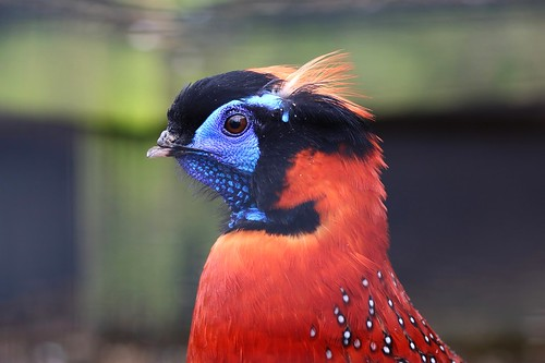 Week 10: Pheasant: Temminck's tragopan