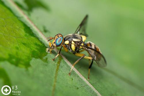 Bactrocera fruitfly ♂