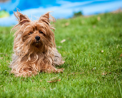 cairn terrier(0.0), dog breed(1.0), animal(1.0), dog(1.0), grass(1.0), pet(1.0), australian silky terrier(1.0), norfolk terrier(1.0), norwich terrier(1.0), australian terrier(1.0), lawn(1.0), carnivoran(1.0), yorkshire terrier(1.0), terrier(1.0),
