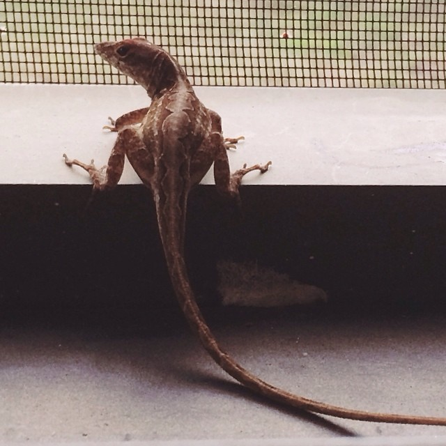"#pictapgo_app #lizards #reptile #wildlife #lizardsofinstagram I feel like the title of this picture should be, ""I like big butts & I cannot lie"" Lmao"
