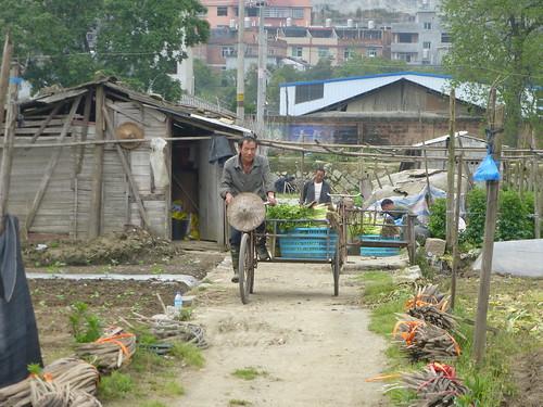 Fujian-Xiapu-Champs (12)
