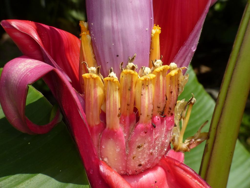 Pink Banana, Musa velutina