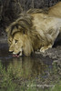 Male Lion Laps Up Precious Water