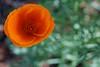 Planet Poppy