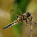 Four spotted chaser by RobLesliePhotography