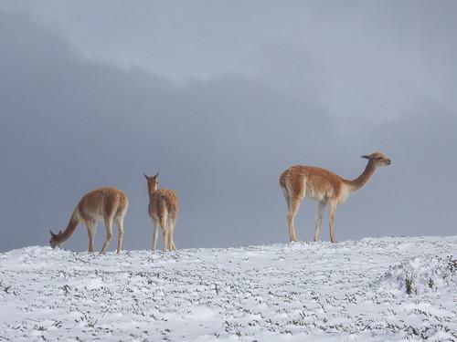 Descente du volcan Chimborazo à vélo: des vigognes