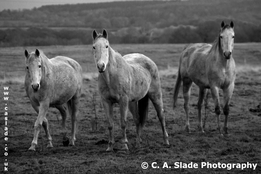 3 Grey Horses