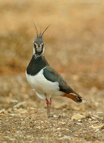 Lapwing at Broom GP
