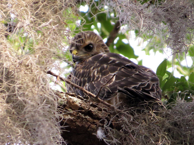 Red-shouldered Hawk pre-fledge