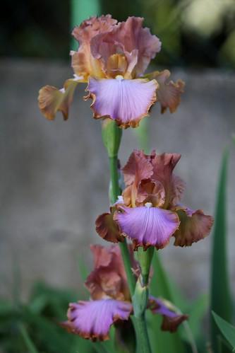 Iris - floraisons 2011 - Page 2 8736090906_16b175aec3