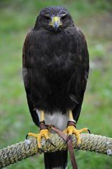 Anakin Hawk