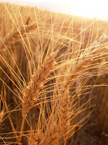 Heavenly wheat